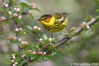 Highlight for Album: All Cape May Warbler