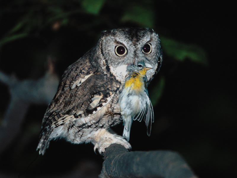 Eastern Screech-Owl with Northern Parula