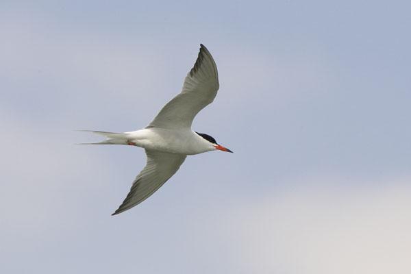 Common Tern (COTE-001)