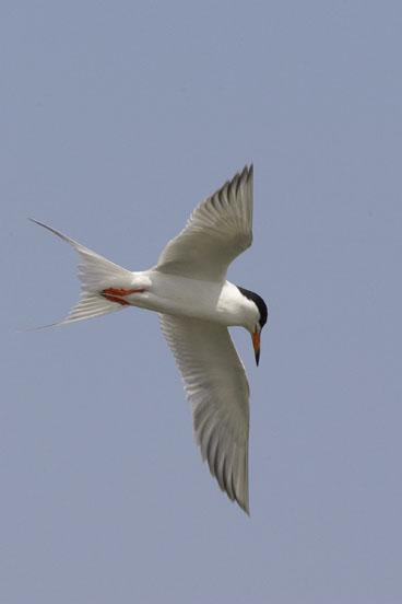 Forster's Tern (FOTE-001)