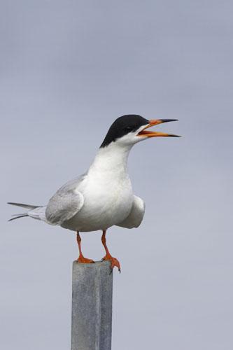 Forster's Tern (FOTE-002)