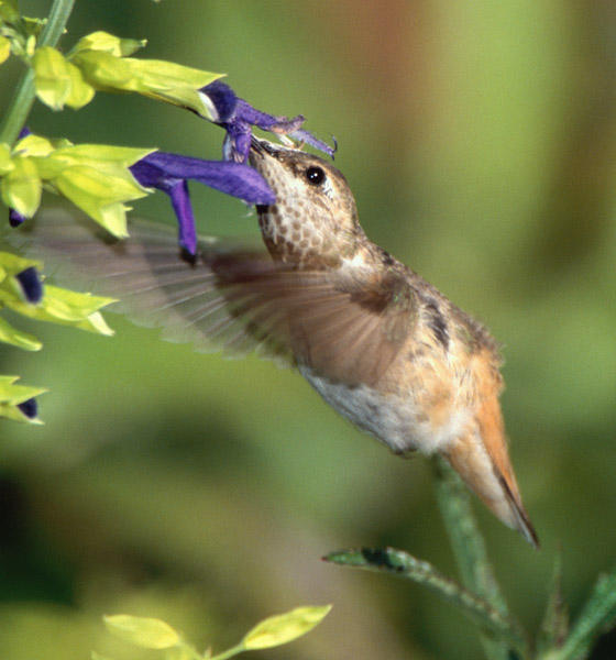Rufous/Allen's Hummingbird