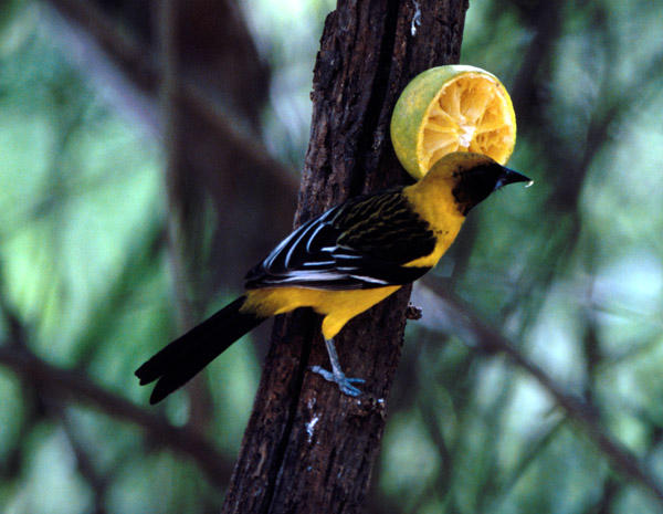 probable Altamira Oriole X Hooded Oriole hybrid