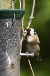 Eurasian Goldfinch (EUGO-004)