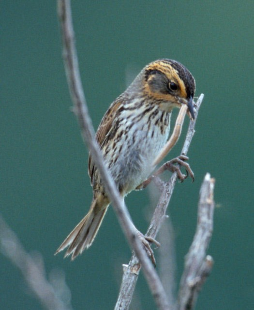 Saltmarsh Sharp-tailed Sparrow