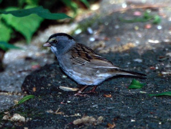 White-throated Sparrow X Dark-eyed Junco hybrid