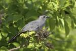 Gray Catbird (GRCA-001)