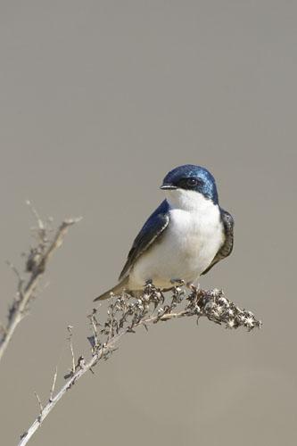 Tree Swallow (TRES-001)