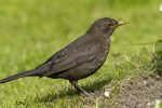 Eurasian Blackbird (EUBL-001)