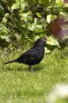 Eurasian Blackbird (EUBL-002)