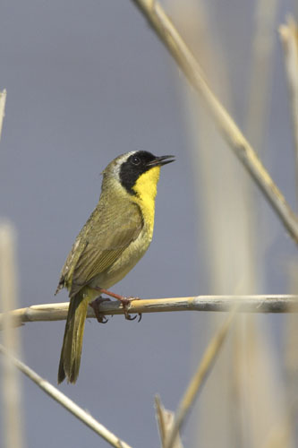 Common Yellowthroat (COYE-001)