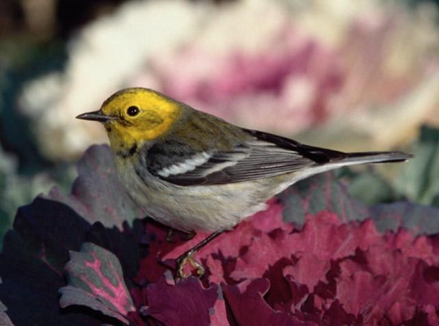 Hermit X Townsend's Warbler